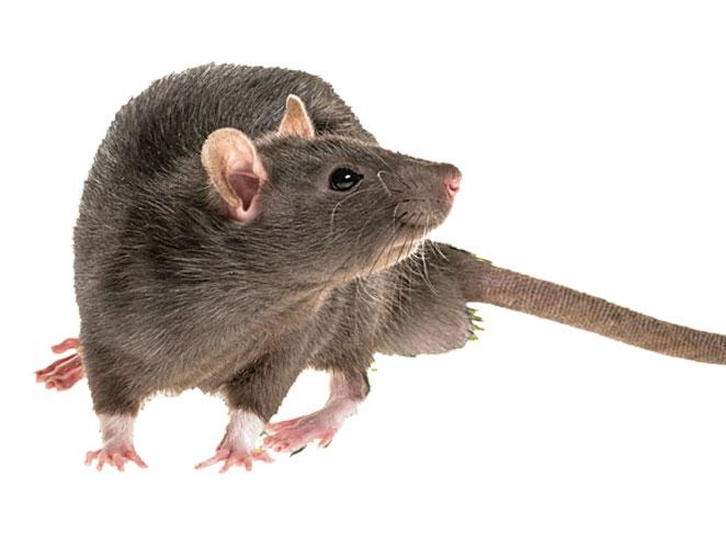 SEPRAN_rodenticidi_ratto